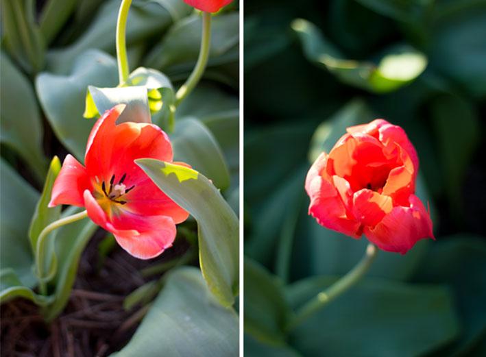 TULPEN-VELDEN-FAM-FLOWER-FARM-11