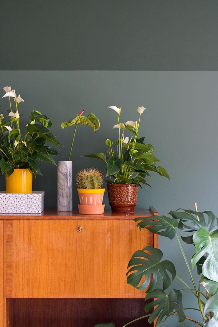 anthurium potplant